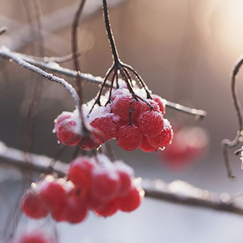 frozen berries hanging from a branch