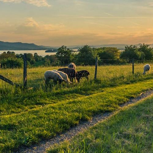 Sheep grazing in grass with sun setting on lake in the background