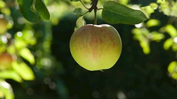 Crop of apple hanging from a tree