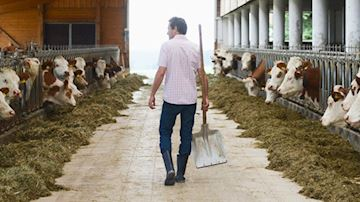 Cattle farmer in shed carrying spade with cattle either side