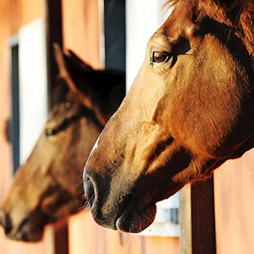 Three brown horses with heads out of stable doors