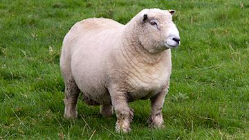 White sheep stood in field