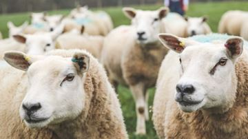 Sheep in field with female shepherd in background