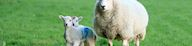 Sheep and two lambs in grass field