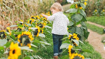 A toddler walking through a field of sunflowers