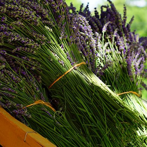 Bunches of freshly harvested lavendar sitting on a cart in the sun.
