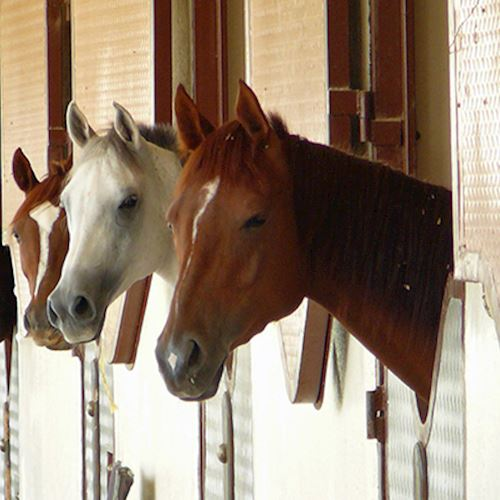 Row of eight horses in stables, five brown and three white