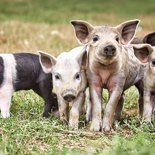 Four rare breed piglets