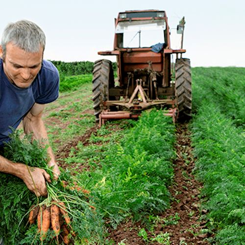 Farmer picking carrots out of field
